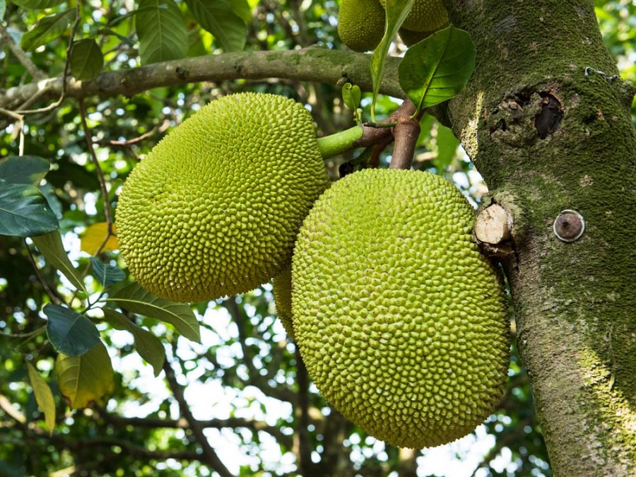Study Shows Jackfruit Flour with Pegfilgrastim Prevents Post-chemo Leukopenia