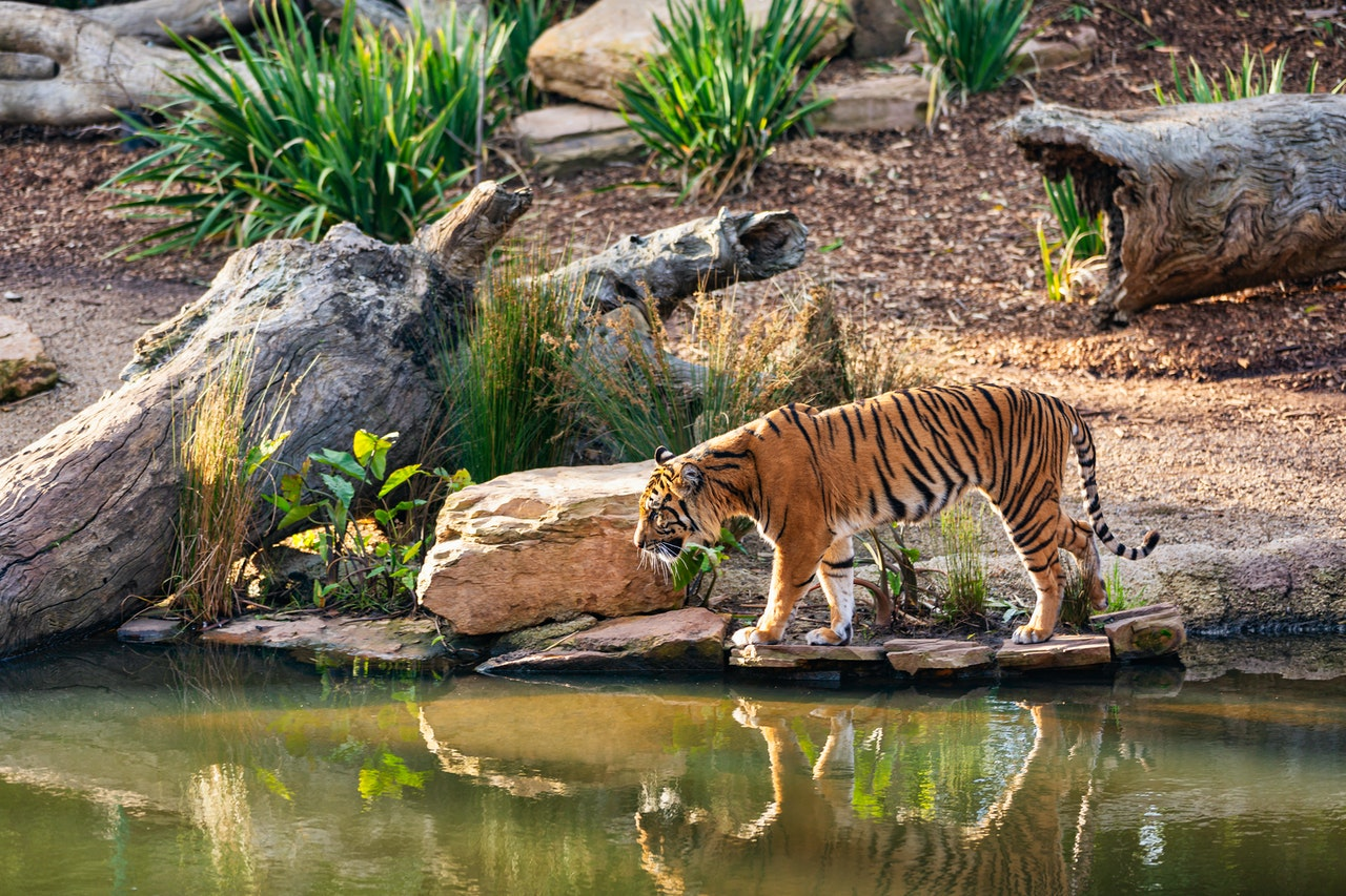 Tiger in US zoo first animal infected with Covid-19